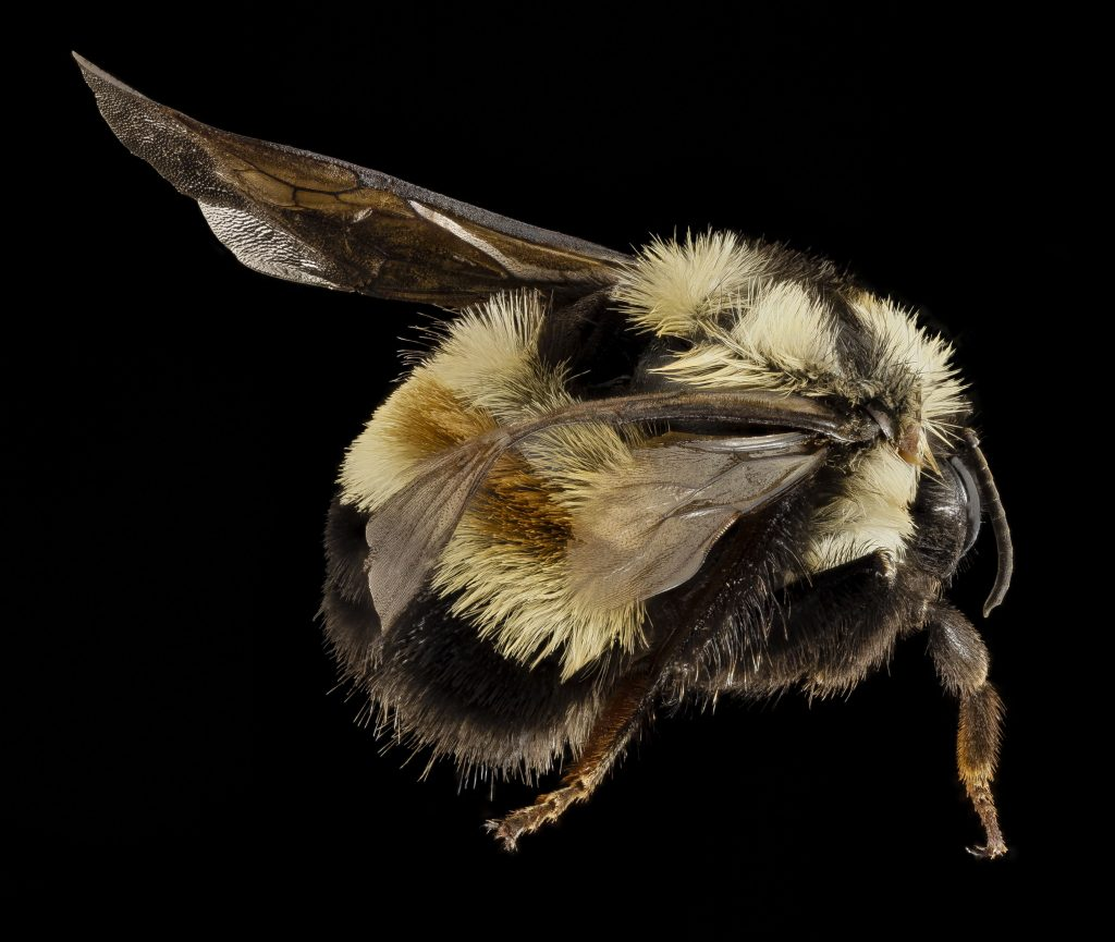 Photo Credit: USGS Bee Inventory and Monitoring Lab from Beltsville, Maryland, USA