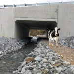 ACEC Merit Award Cattle Crossing Photo