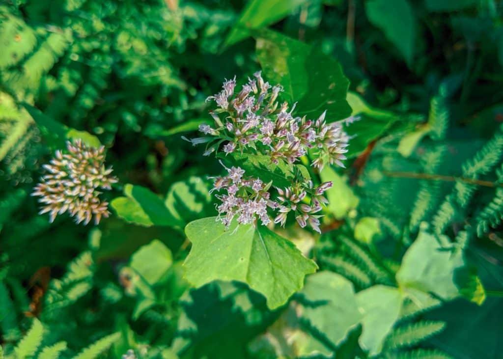 Closeup of Hempvine Flowers
